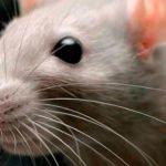 Дератизация: действенные методы против грызунов