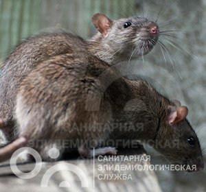 уничтожение крыс заказать