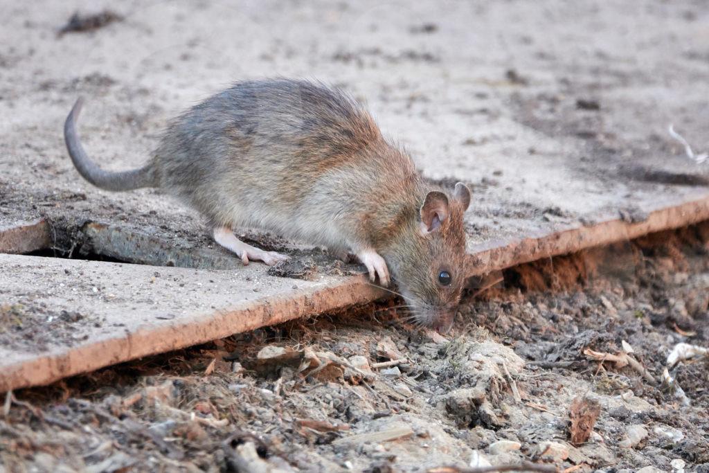 какие организации помогут уничтожить крыс