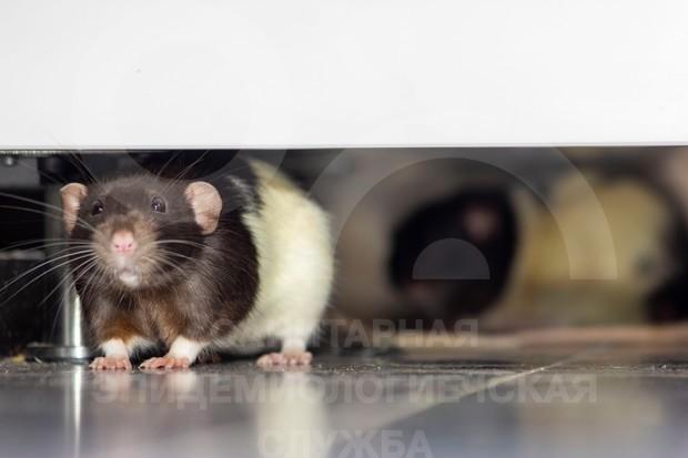 опасность от крыс