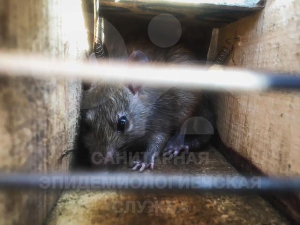 уничтожить крыс и мышей с помощью специалистов
