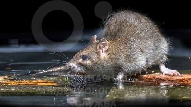 уничтожение мышей на производстве