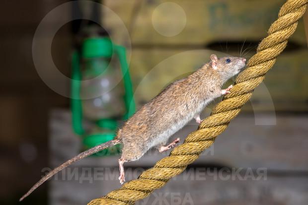 как избавиться от крыс на предприятии